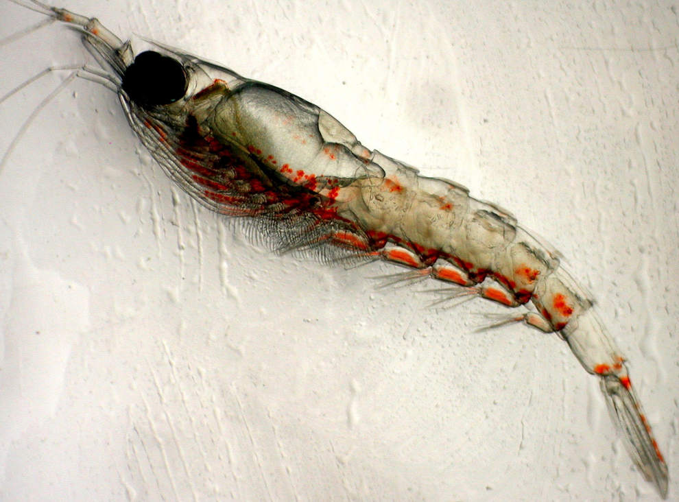 A species of krill. Credit: NOAA Fisheries