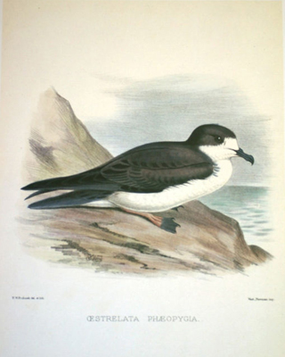 A Hawaiian Petrel, an endangered species that this project is hoping to help.