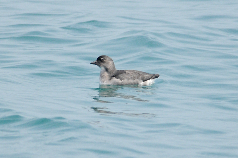 Cassin's Auklet off the Washington coast. (c) R. Merrill
