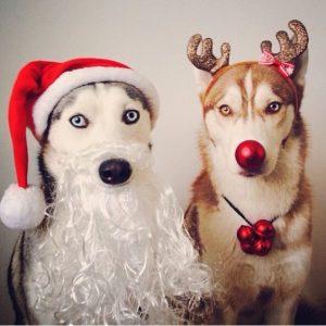 xmas_huskies