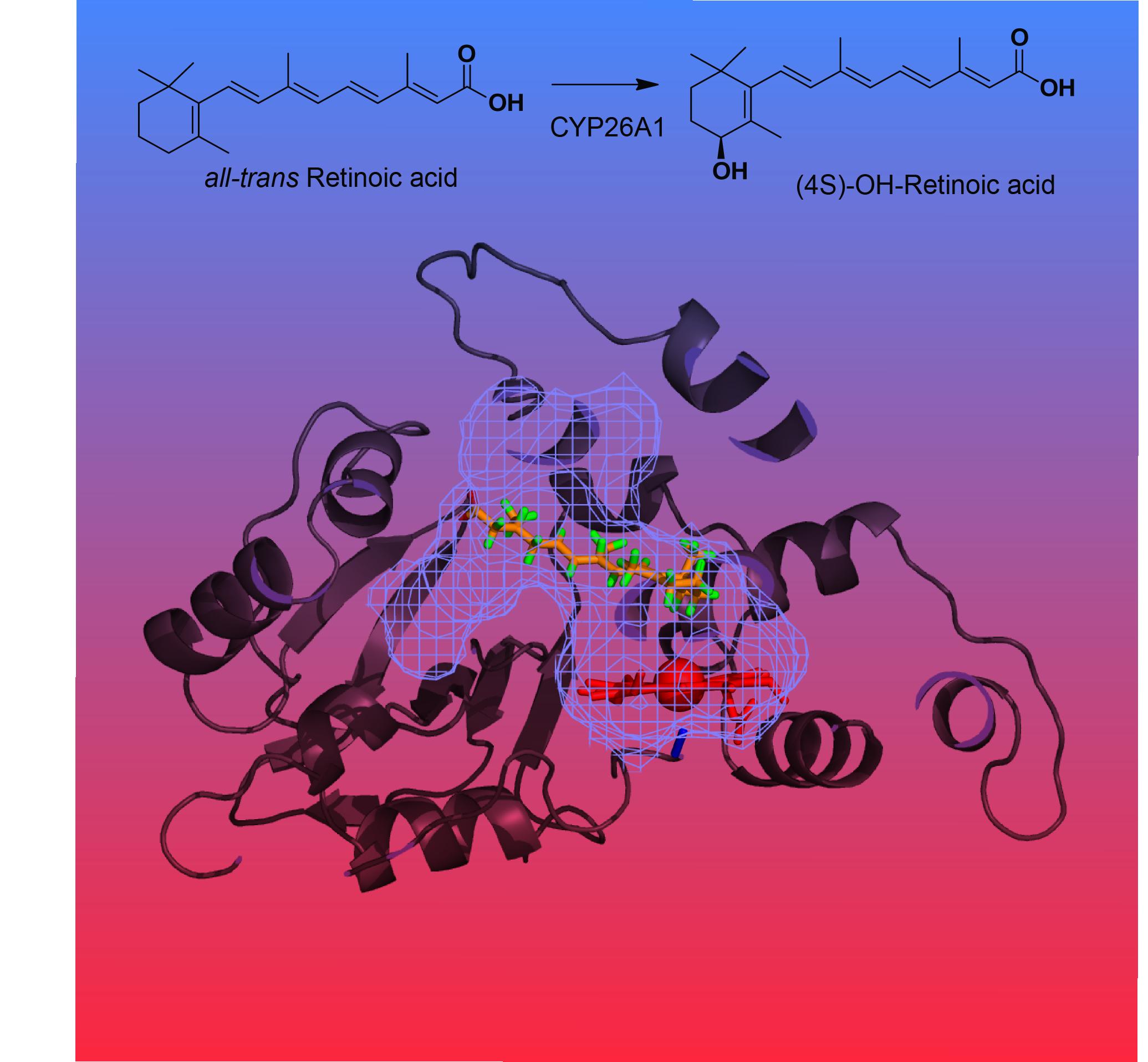 CYP26A1 homology model
