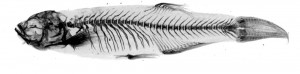 cropped-Zebrafish-virtual-radiograph1.jpg