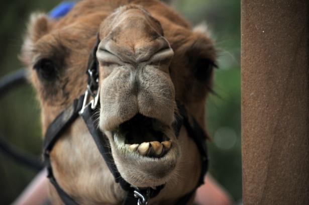 Camel Faced Technique