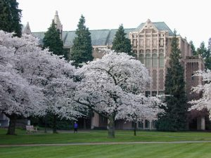 cherry blossoms at UW